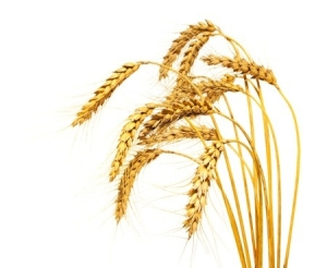 Discipleship Study - The Parable Of The Kernel Of Wheat - John 12:23-26 - Growing As Disciples